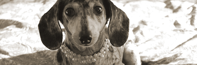 Mina The Dacshund And Her New Pearl Dog Collar