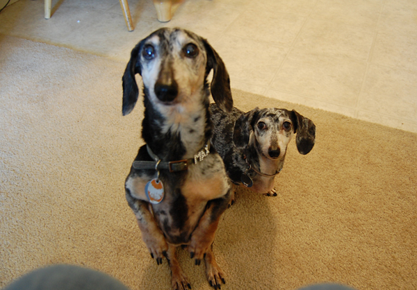 Max and Mina Begging For Their Pawpal Treat - Yum!