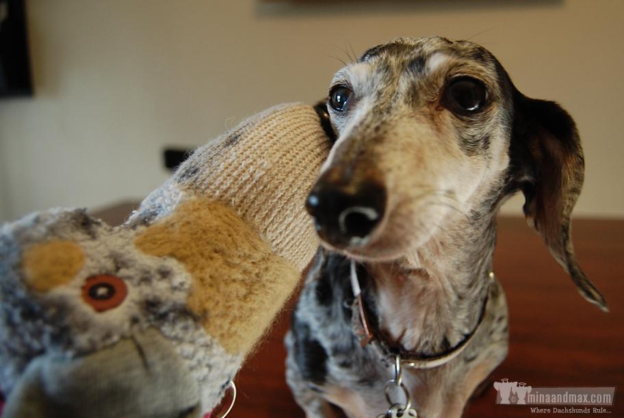 Mina the dachshund sharing secrets