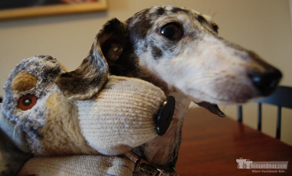 Mina the dachshund getting a hug from new best friend